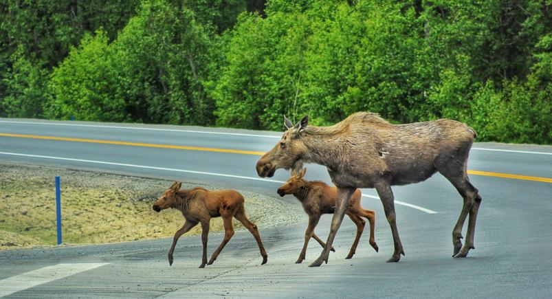 moose-crossing-the-road-in-alaska